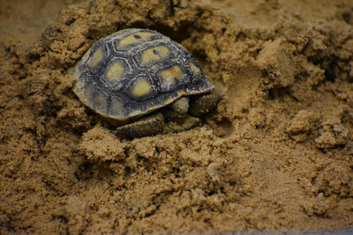 late hatchling gopher tortoise - top environmental consulting services firm normandeau associates