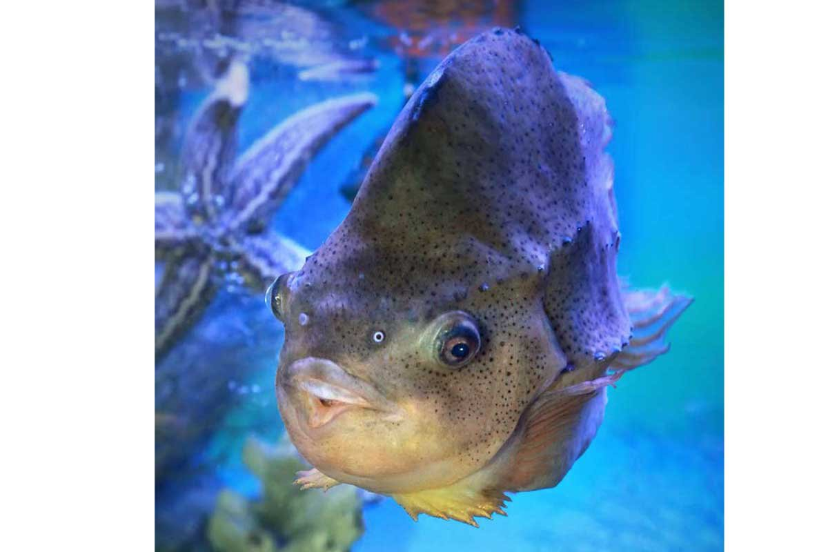 lumpfish in water - top environmental consulting services firm studies lumpfish