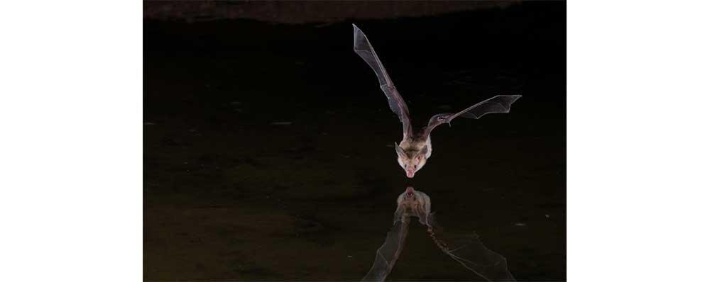 A Vampire Bat..