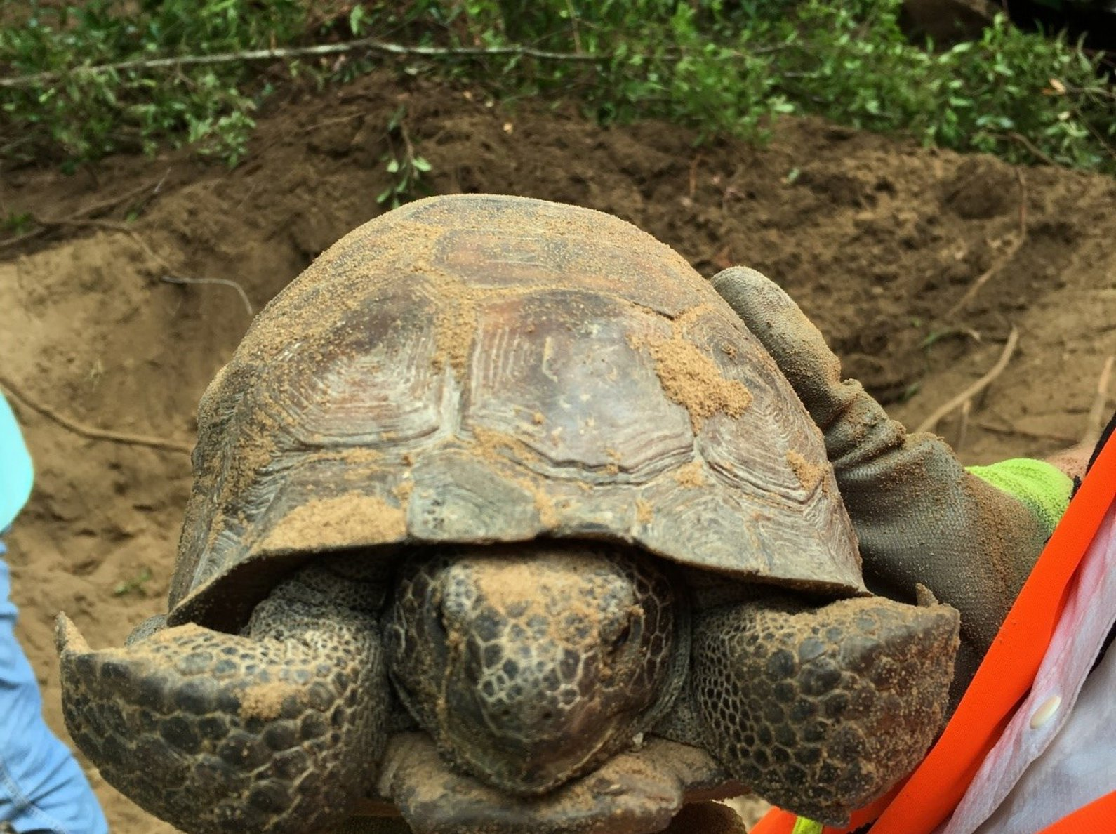 capture of an adult gopher tortoise - environmental consulting services firm normandeau associates
