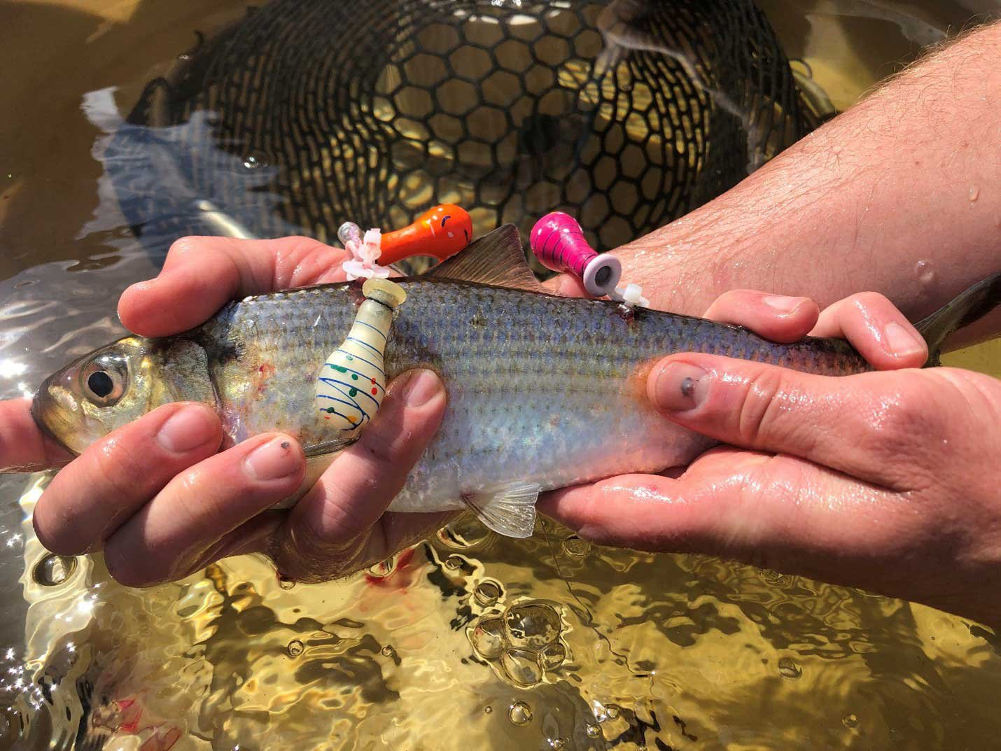 river herring with tags - top environmental consulting services firm normandeau associates