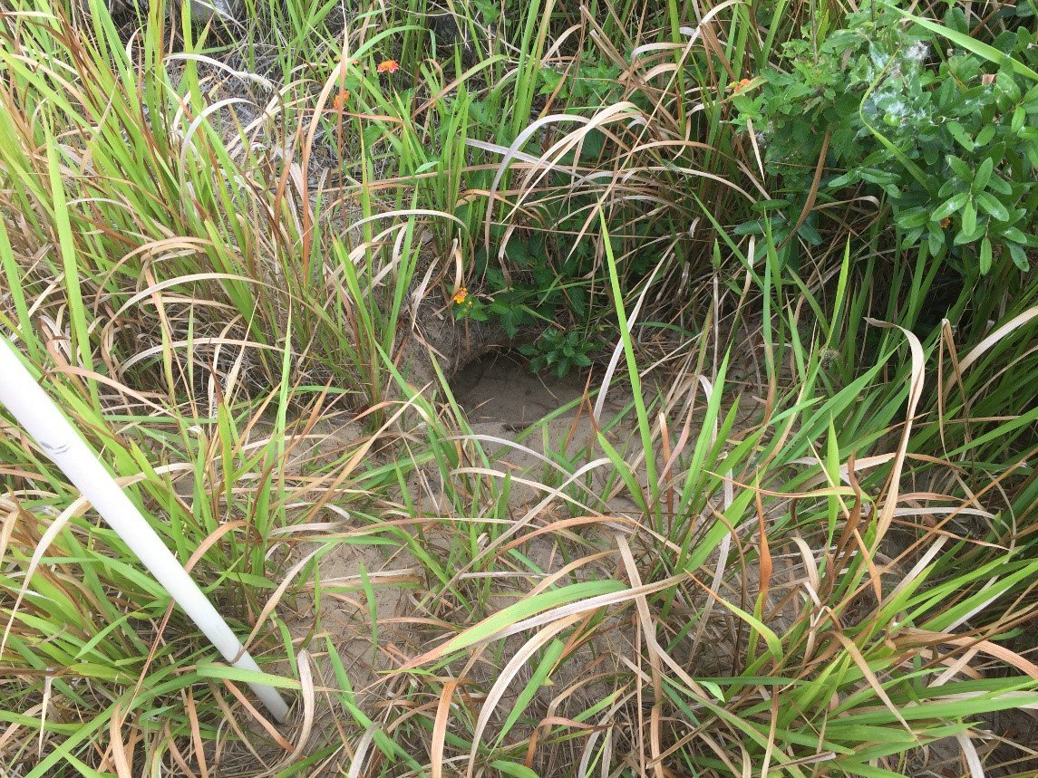 gopher tortoise burrow - top environmental consulting services firm normandeau associates